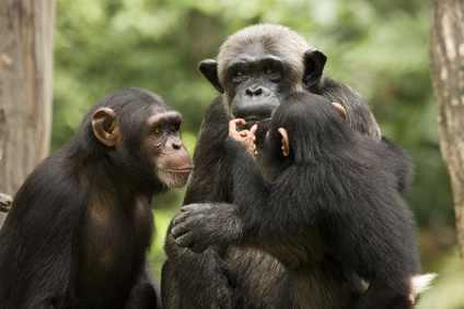 Schimpansen sind unsere nächsten Verwandten im Tierreich.