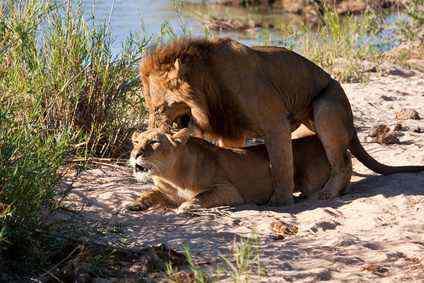 Kopulierende Löwen