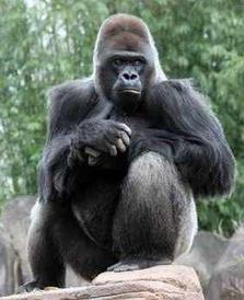 Gorilla / Silberrücken