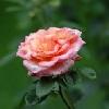 "Blume ""Liebeskummer"""