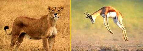 Angesichts eines Löwen machen Gazellen sog. Prellsprünge. Sie demonstrieren damit ihre Fitness.