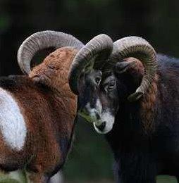 Kopfstoßende Muffelwidder