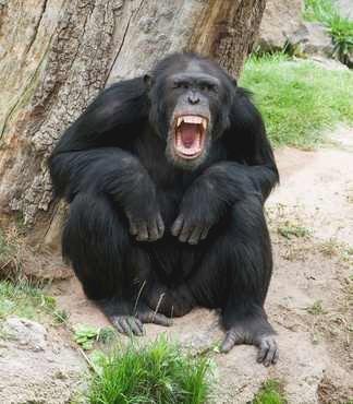 Starke Gefühlsäußerung eines Schimpansen (Angstgrinsen)