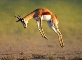 Prellsprung einer Gazelle, wenn sich Löewen nähern