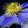 Liebeskummer Blume