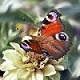 Liebeskummer Schmetterling
